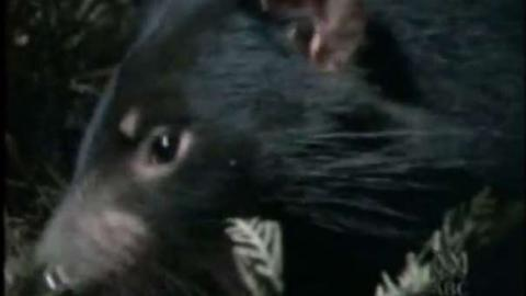 Nature of Australia: The Tasmanian Devil